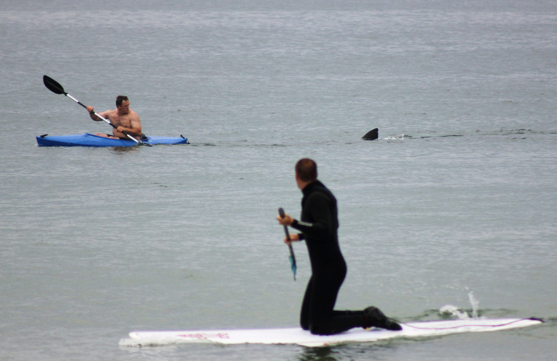 Walter Szulc Jr., in kayak at left, looks back at the dorsal fin of an approaching shark at Nauset Beach in Orleans, Mass., on Cape Cod in July 2012. An unidentified man in the foreground looks toward them. Both men got safely to shore. attack Beach cape cod dorsel fin great white great white shark kayak MASN501 Nauset Orleans, Massachusetts shark