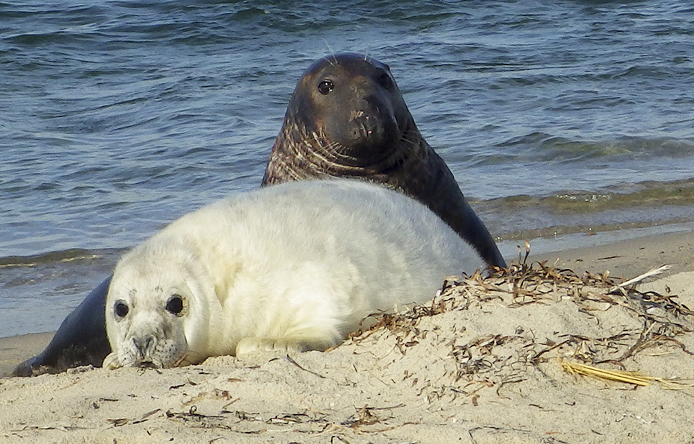 In this Jan. 7, 2016, photo, a gray seal mother and pup lie on the beach of Muskeget Island at Nantucket, Mass. Photo by Kimberly Murray/National Oceanic and Atmospheric Administration via AP