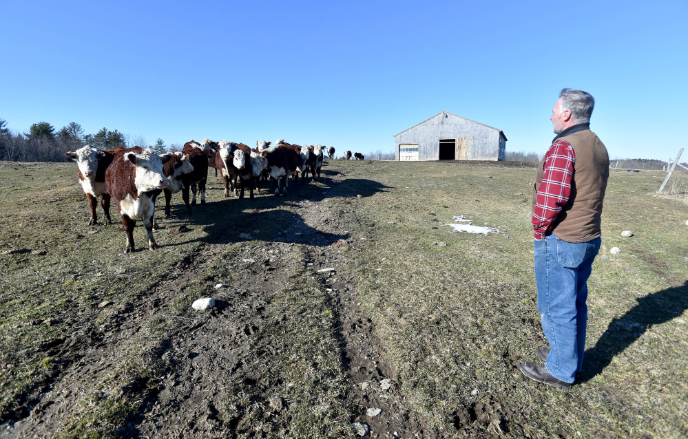 Bob Campbell stands in his upper pasture as he calls for his herd of grass-fed beef cattle at Wolf Creek Farms, in Sidney on Friday. The town has set up a residents' committee to look at how farmland is valued.