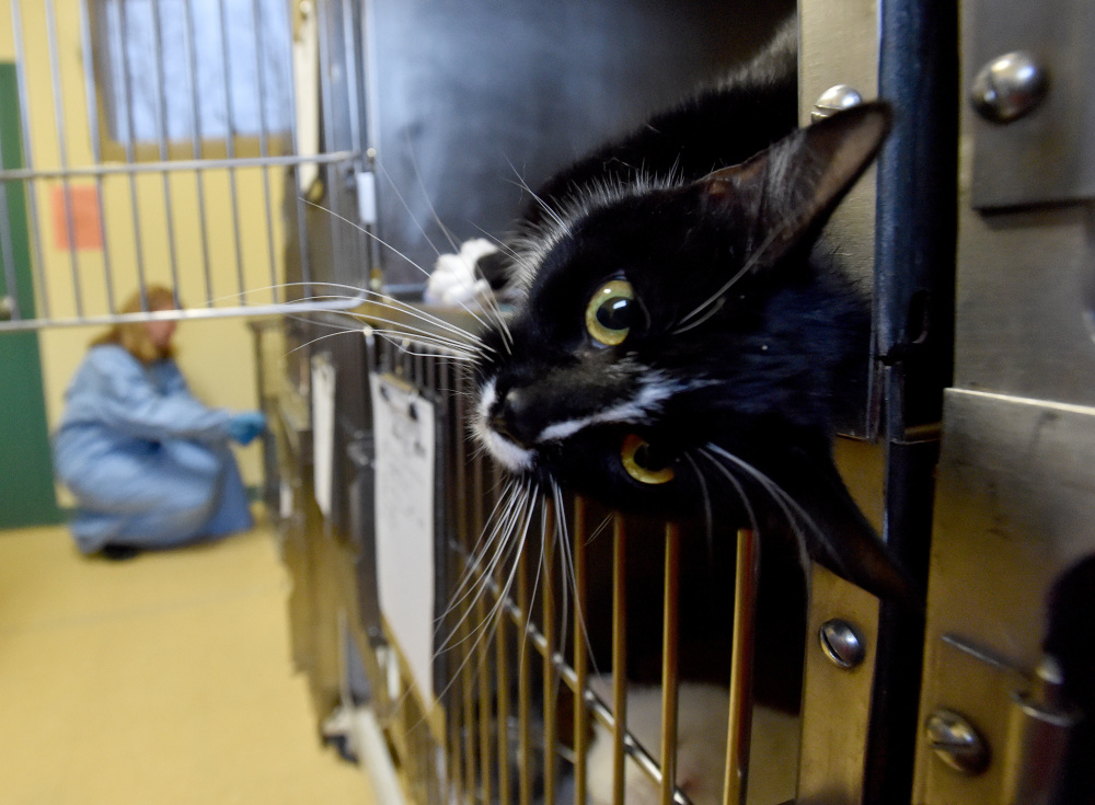 A cat peeks out from her cage as Lisa Smith, background, handles a pair of ferrets at the Humane Society Waterville Area on Webb Road in Waterville on Wednesday. The cats and ferrets were among 33 animals surrendered by a Clinton family this week.