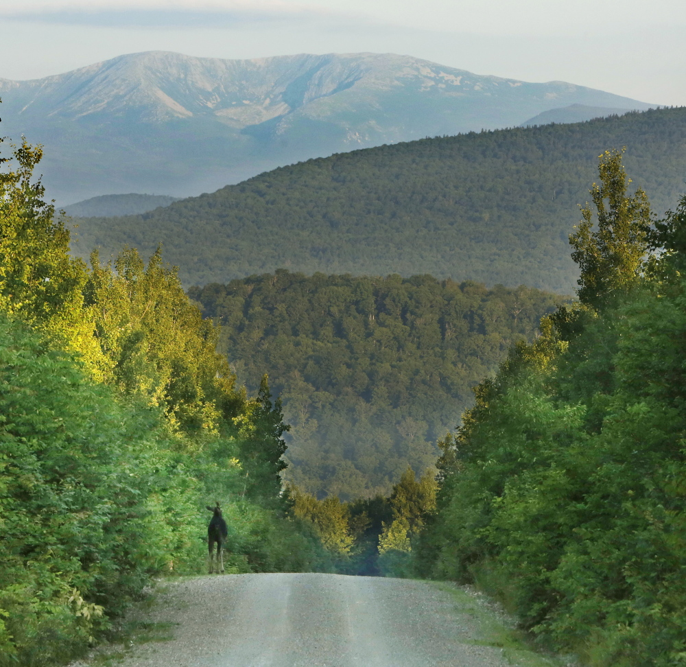 PATTEN, ME - July 15: A moose makes its way along the Sherman Lumber Company Road near Stacyville on Tuesday, July 15, 2014. In the background are Hamlin Peak, left and Howe Peaks. (Photo by Gregory Rec/Staff Photographer)
