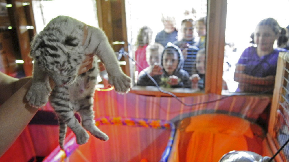 One of the three tiger cubs is held up by Heidi Perez on June 20, 2014, at DEW in Mount Vernon.