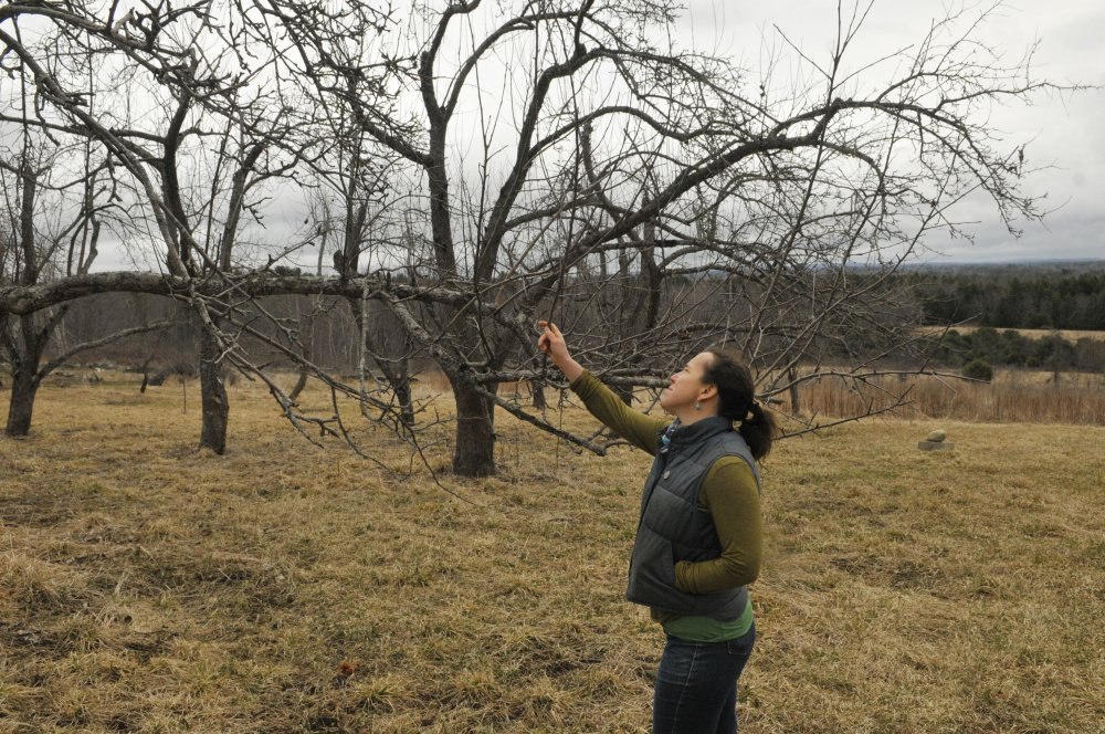 Dalziel Lewis, of Dig Deep Farm, checks out growth on an apple tree during an interview on Friday in South China.