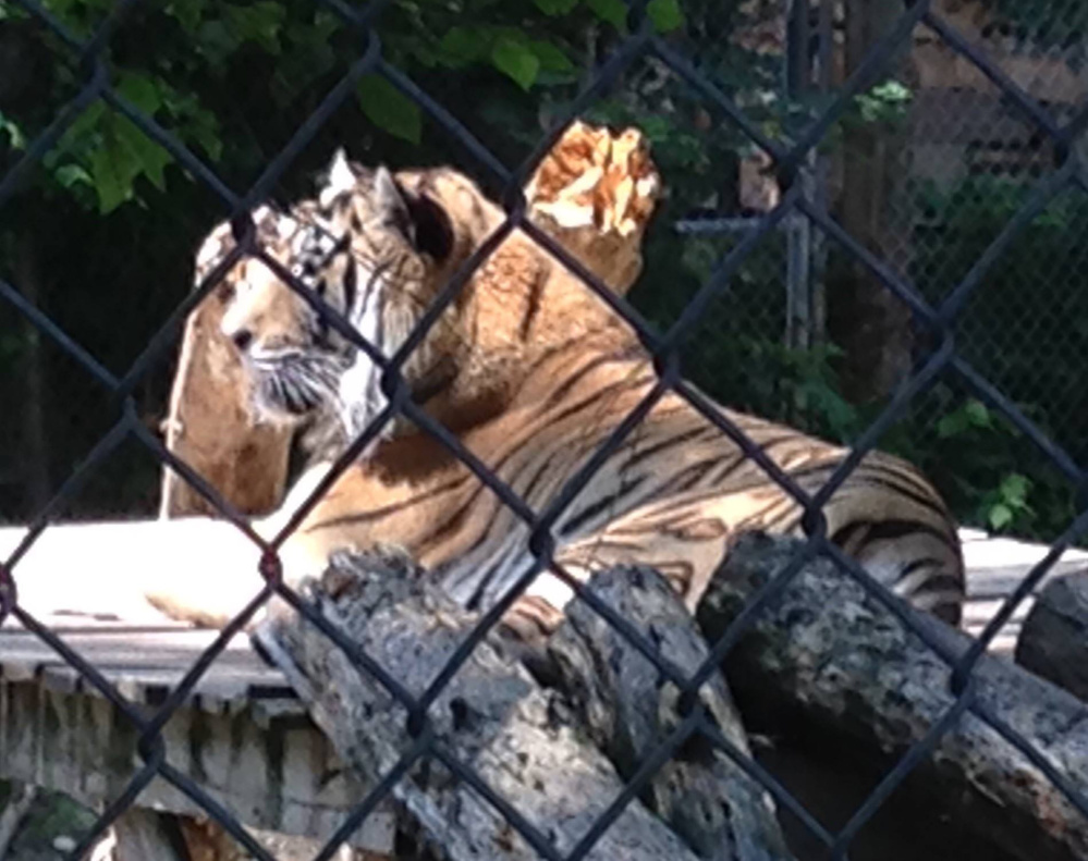 Tigers rest inside their enclosure at DEW Haven in Mount Vernon last summer. A documentary film featuring the animal sanctuary won't be shown at Railroad Square Cinema in Waterville after Mother Jones magazine reported animal welfare violations at the sanctuary. The documentary was scheduled for next week.