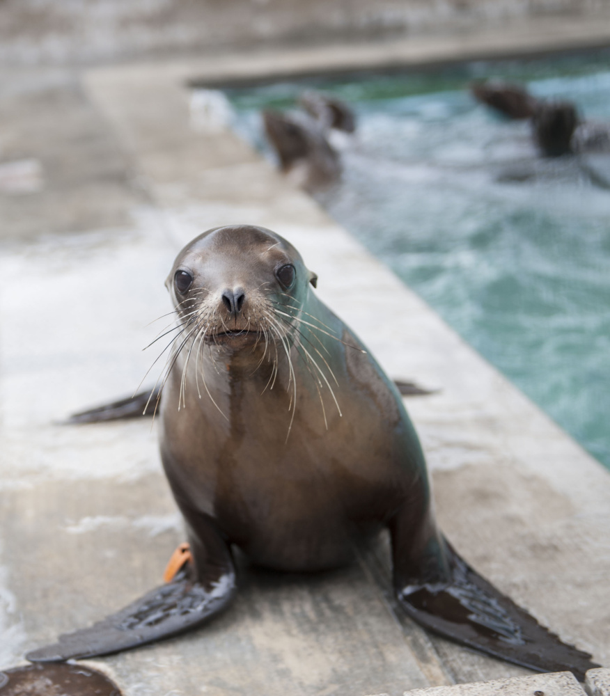 Ana Venegas/Orange County Register/TNS Scientists have linked the inability of mother sea lions to find a good supply of sardines and anchovies to the surge in starving sea  lion pups along Southern California. The fish are a source of high-fat, high-calories food