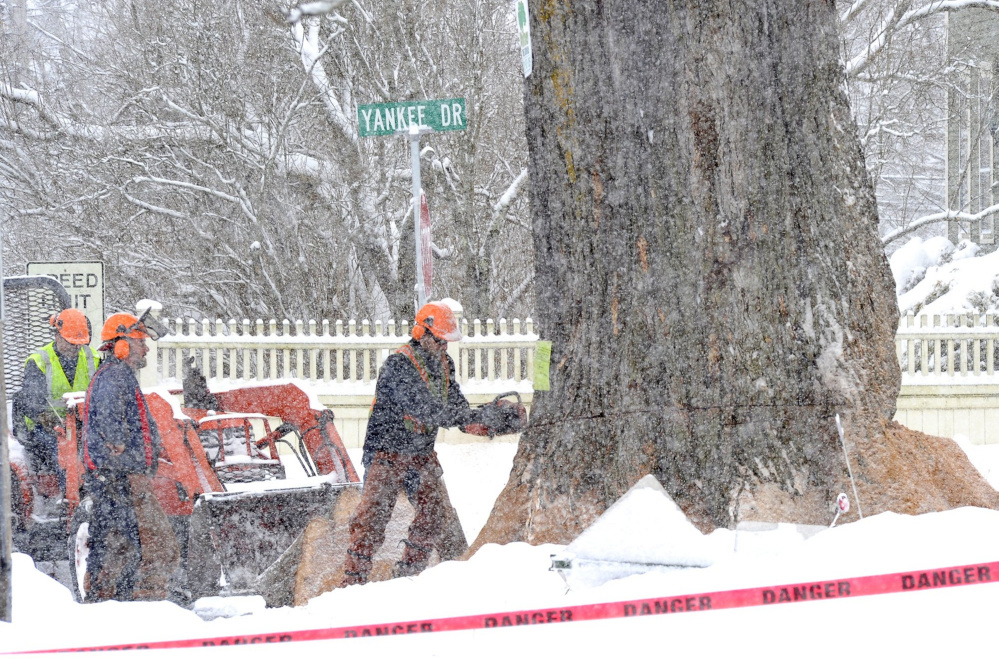 Workers from Whitney Tree Service cut into Herbie, once New England's largest American elm. The 217-year-old tree in Yarmouth had to be cut down in 2010 because it had succumbed to Dutch elm disease. The Nature Conservancy is working to re-establish the towering shade trees in New England.