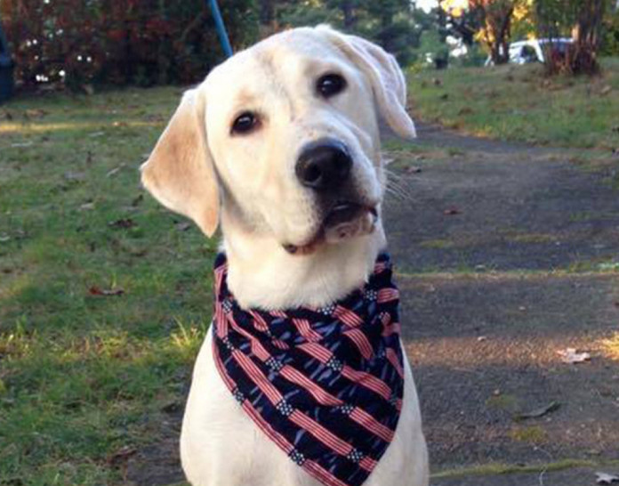 Lexi, a 2-year-old yellow Labrador retriever belonging to a Winthrop family, was struck and killed by a car Monday night. The car's driver later contacted police and family members.