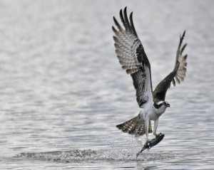An osprey plunges Tuesday into Echo Lake on Tuesday in Mount Vernon for a perch. Osprey and other raptors are hunting for prey such as smelt and suckers that spawn in the spring.