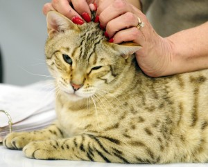 Judge Christina Baumer pets a Bengal cat as she judges entries at the cat show on Friday at the Augusta State Armory.