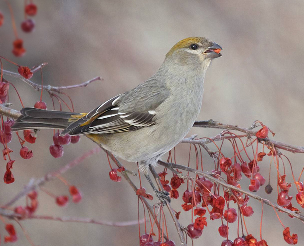 Pine grosbeak may be pretty darn regal but when there's fermented fruit around, they've been known to, oh, take a little nip or three.