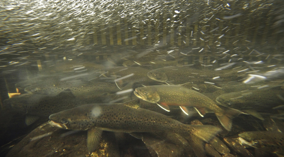Brook trout swim against the current in a fish weir on the Roach River near Moosehead Lake. A 2013 study shows freshwater fishing in Maine generated $319.1 million in revenue, with more than half of in-state and almost half of nonresident fishermen favoring brook trout.