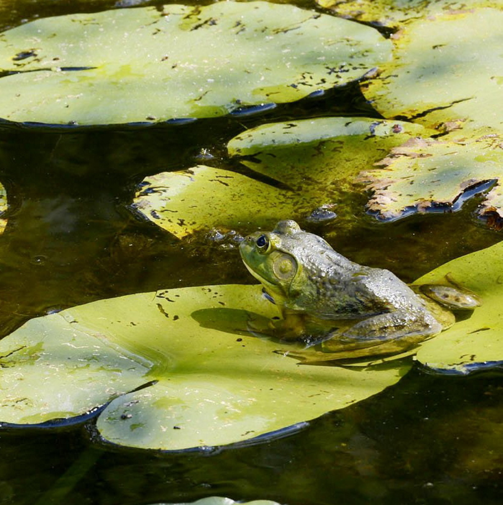 A frog sits on a lilly pad at the pond at Gilsland Farm Audubon Center in Falmouth. The location is ideal for Portland residents and workers looking for a beautiful place to enjoy nature.