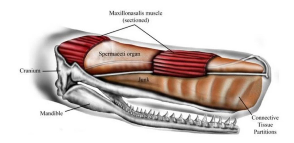 Male sperm whales can be 60 feet long, and their foreheads make up one-third of their length and a quarter of their body mass. Inside are two oil-filled sacs, one atop the other. The spermaceti organ is on top and on the bottom is the junk sac, or, as the study refers to it,