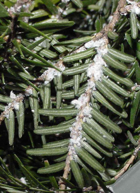 The sap-sucking woolly adelphid is busy taking out hemlock trees in Maine and elsewhere in the Northeast. The insect secretes a white, wool-like substance on the undersides of hemlock needles and branches.
