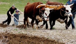 As two big steer pull a plow, Wiekko Sillanpaa, front, gets some help from Logan Robinson as the boys attempt to plow a straight line during some friendly competition at the Rustic Roots farm in Farmington on Sunday. Robert Sillanpaa of New Vineyard guides the steer.