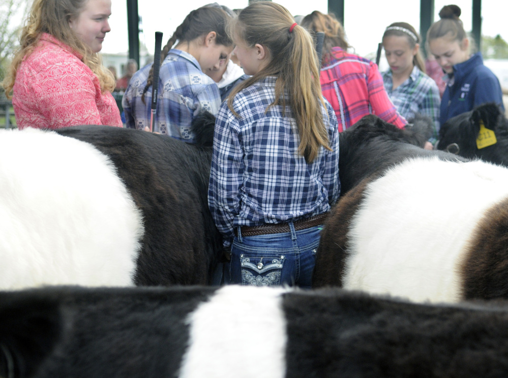 Girls line up Sunday to compete with their Belted Galloways at the New England Livestock Expo in Windsor.