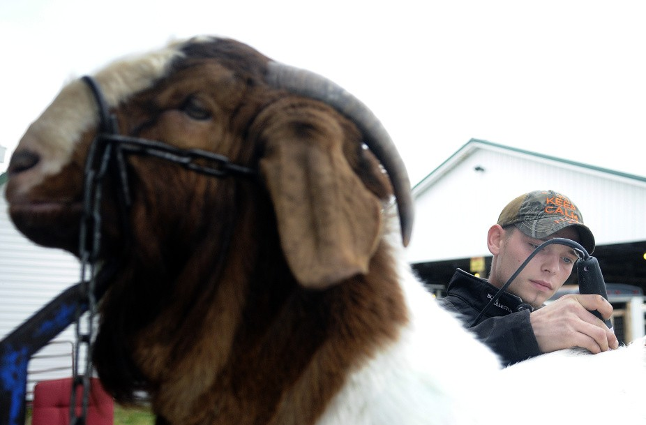 Shawn Mills, of Augusta, grooms a Boer goat before exhibiting it at the New England Livestock Expo in Windsor on Sunday.