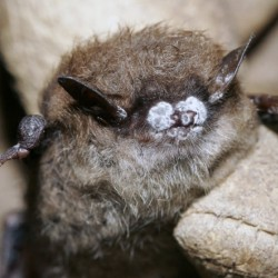 This little brown bat has white nose syndrome. The bats are an endangered species because their population has been decimated by the disease, so Augusta officials have launched an effort to protect them by erecting bat houses.