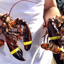 A new study will look into a host of issues, including changes in the Gulf of Maine's ocean currents and how they could be affecting baby lobster growth.