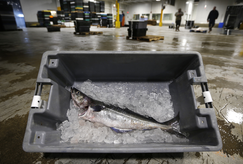 The Associated Press An Atlantic pollock sits on ice at the Portland Fish Exchange. East Coast fishermen, processors and dealers want to rebrand the Atlantic pollock to distinguish it from Alaska pollock, a fish known for its use in fishsticks and catfood. One proposed name is the