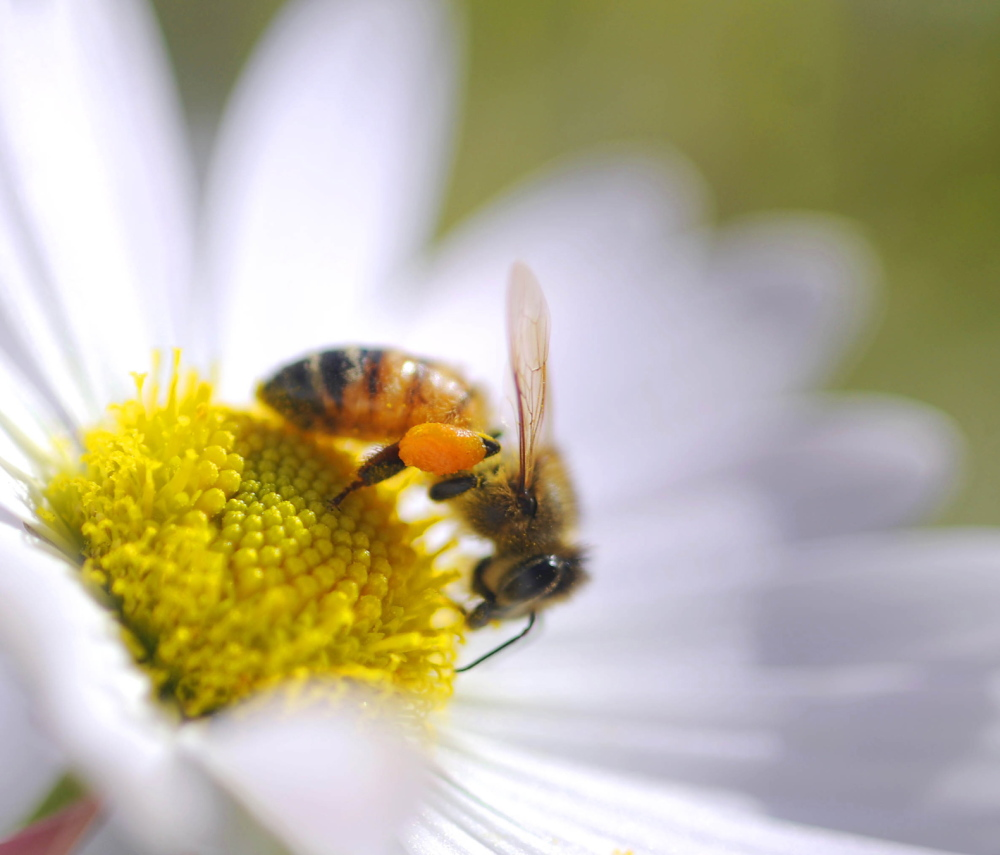 A bee collects pollen in a pair of baskets on its hind legs. A University of New Hampshire study has found that state has a rich diversity of bee species.