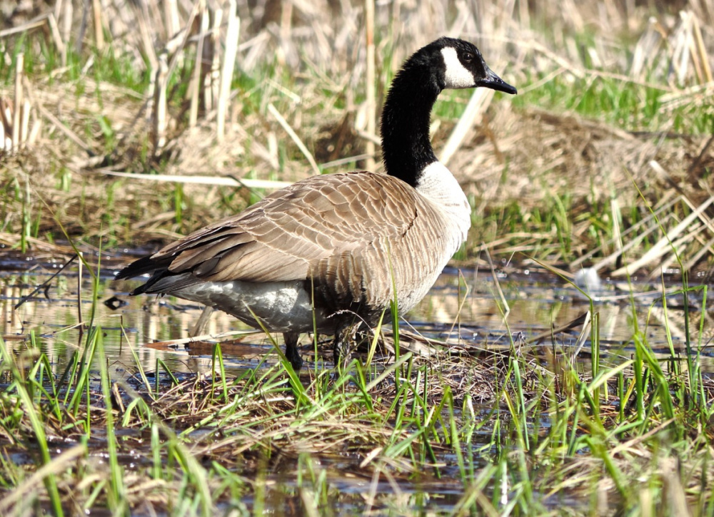 A goose, much like canoeists, enjoys the lovely spring day on True's Pond in Montville, which is about 15 miles west of Belfast.