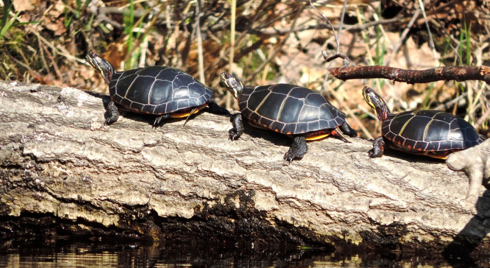 Painted turtles are in abundance during a canoe run at True's Pond in Montville, enjoying the sun on every available perch, including floating logs.