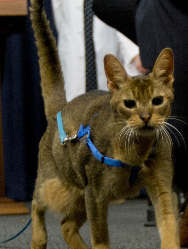 Rubio the cat hangs out Tuesday at a news event where veterinarians called for a ban on declawing.