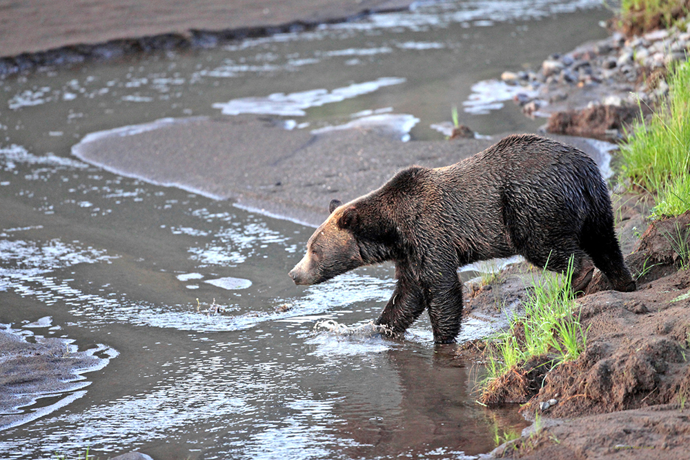 A grizzly bear roams in the Lamar Valley in Yellowstone National Park in Wyoming in this 2012 photo. Marc Cooke/Wolves of the Rockies via AP