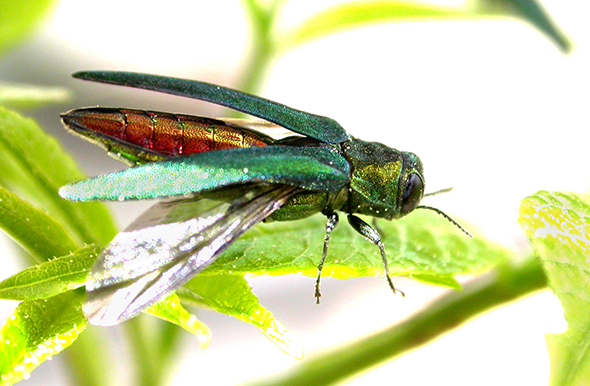The emerald ash borer is now in It's now in 27 states, and the ultimate cost could be $12.7 billion, the report says. USDA photo