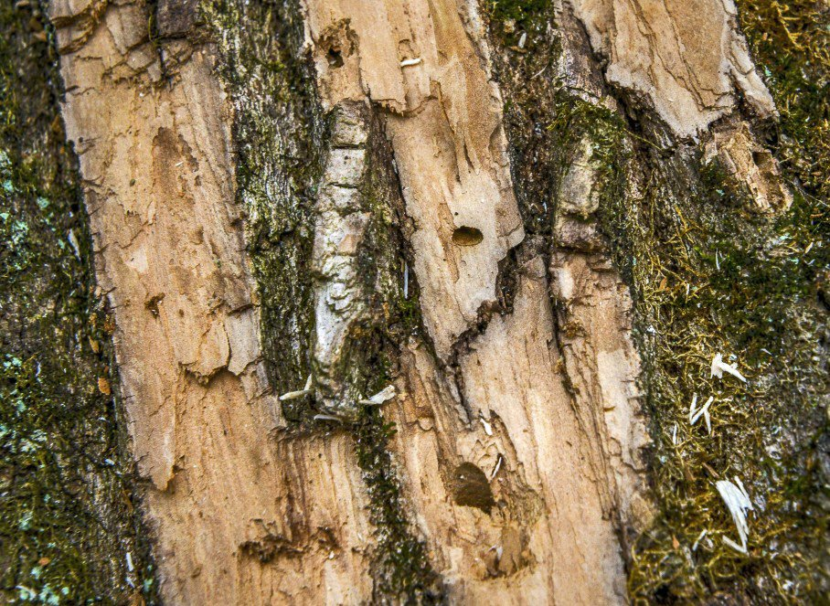 Officials in Maryland battle an attack of emerald ash borer beetles that are decimating trees. Pictured, detail of a ruined tree showing the hole used by the beetle to leave the tree. Washington Post photo by Bill O'Leary.