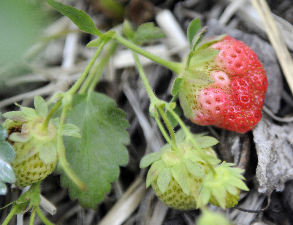 Strawberries grow in a patch at the Stevenson's Strawberries in Wayne Monday. Despite a cool, dry spring the crop should be ready for picking by the end of the month, farmer Tom Stevenson said.
