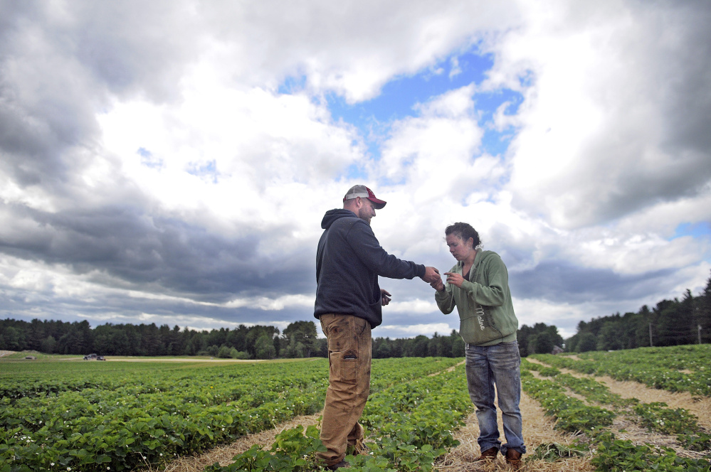 Tom Stevenson and Alice Berry inspect budding strawberries in a patch at Stevenson's Strawberries in Wayne Monday. Despite a cool, dry spring the crop should be ready for picking by the end of the month, Stevenson said.