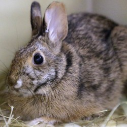 New England cottontail rabbits, which look like the eastern cottontail, have been successfully released in New Hampshire and Rhode Island, where thicket and brush habitat was restored. Roger Williams Park Zoo in Providence, R.I. In an ambitious restoration project, following 50 years of decline in the population of the species, federal and state authorities are raising the rabbits in captivity to release scores of tiny bunnies this summer into areas where thickets and brush have returned.