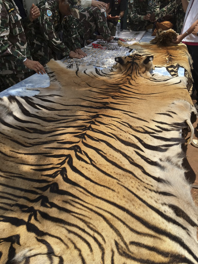 """National Parks and Wildlife officers examine a tiger skin at the """"Tiger Temple,""""  west of Bangkok, Thailand, Thursday. Thai police say they stopped a truck carrying two tiger skins and other animal parts as it was leaving the temple, and two staff members were arrested and charged with possession of illegal wildlife. The Associated Press"""