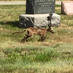 The animal spotted this week in Merrimack, N.H., is likely a mangy fox, police say.