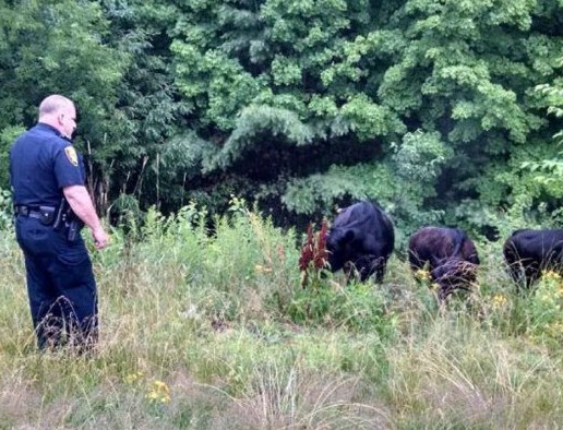 Augusta Police officer Brett Lowell found himself handling three head of cattle that escaped their enclosure and wandered on to Interstate 95 Sunday morning. Police herded the cattle to a safer area where their owners picked them up.