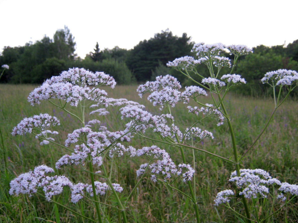 Valerian root can be dug up, dried, chopped and made into an unusually effective, and safe, sedative tea.