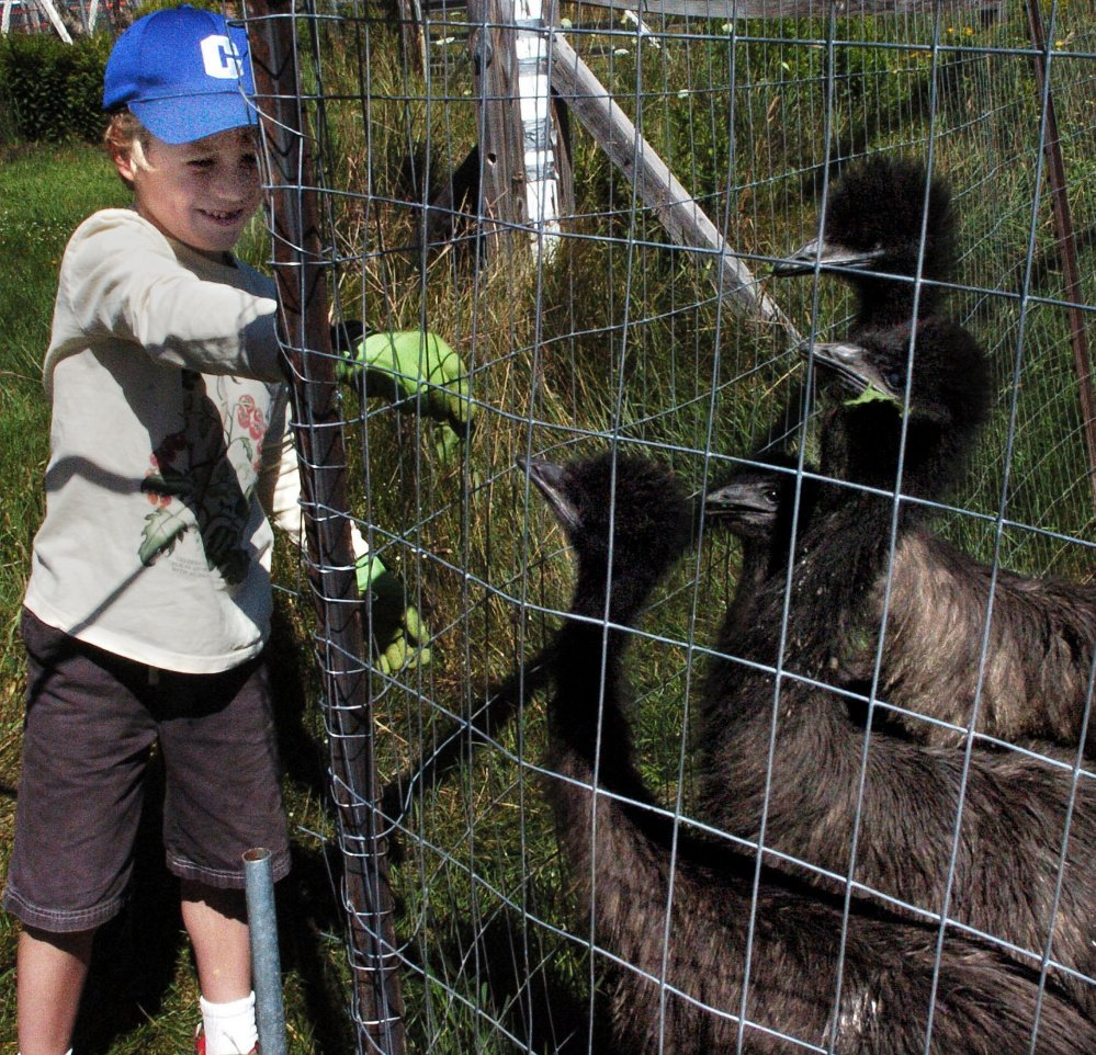 Damian Wynn feeds young emu birds at the Birds of a Feather Farm in Farmington on Sunday during this year's statewide Open Farm Day.