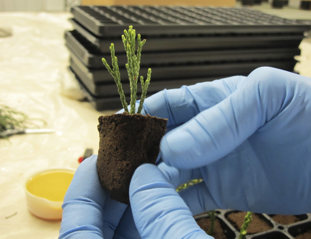 A clipping from a giant sequoia tree is shown in the propagation lab at Archangel Ancient Tree Archive. Specialists there say the tree's robustness make it ideal for absorbing   greenhouse gases.