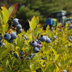 FILE - In this July 30, 2015 file photo, a blueberry harvester makes its way through a field near Appleton, Maine. The federal government is expected to complete a plan to help the state's wild blueberry industry by buying surplus berries. The purchase could impact prices to consumers. (AP Photo/Robert F. Bukaty, files)