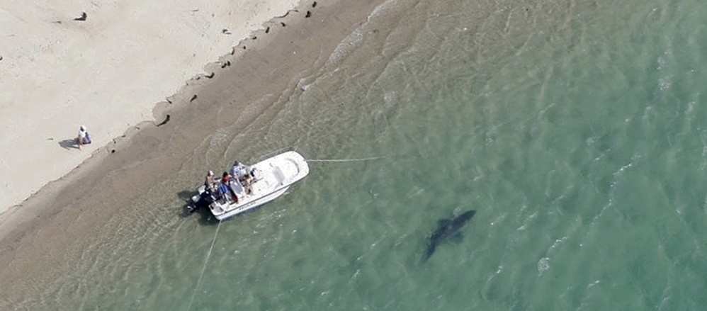A great white shark swims close to the Cape Cod shore Tuesday in Chatham, Mass. A state biologist said shark sightings are up slightly along the East Coast this summer.