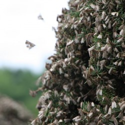 """A massive swarm of spruce budworm moths clings to a tree in New Brunswick, Canada. Entomologists believe the swarm was carried more than 130 miles on warm summer winds. """"They were everywhere and on everything,"""" a business owner in the area said."""
