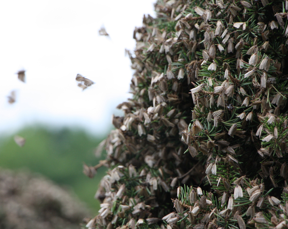 "A massive swarm of spruce budworm moths clings to a tree in New Brunswick, Canada. Entomologists believe the swarm was carried more than 130 miles on warm summer winds. ""They were everywhere and on everything,"" a business owner in the area said."