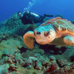 Loggerhead turtles that frequent the East Flower Garden Bank may go elsewhere if reef's die-off continues.