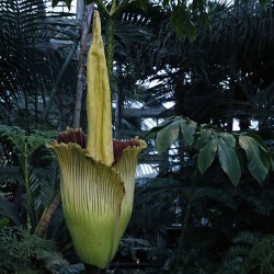 An Amorphophallus titanum begins to bloom at the New York Botanical Garden (NYBG), Thursday, July 28, 2016, in New York. The rare plant releases scent during its brief 24–36-hour peak, like the smell of rotting flesh, the reason the plant is popularly known as the corpse flower. It is the first time since 1939 that the NYBG has displayed a blooming titan-arum. (AP Photo/Kathy Willens)