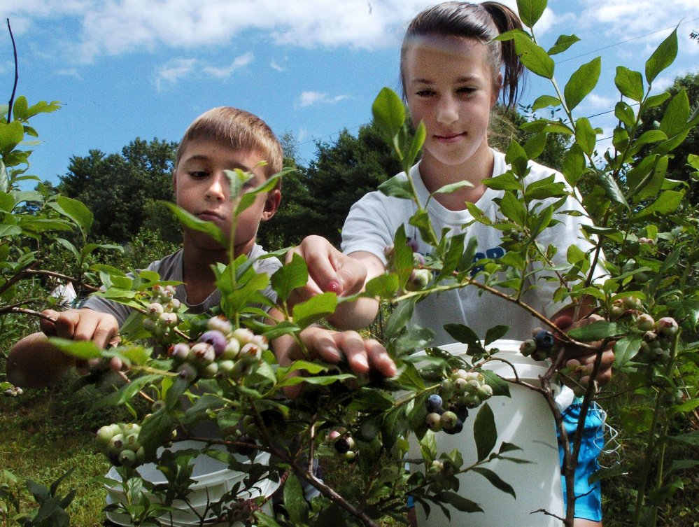 Adam and Kylie Fitzgerald pick ripe blueberries at Pine Acres farm in Skowhegan last month. Despite the summer drought, Maine's blueberry production seems strong. This year's total will be closer to 90 million pounds compared with last year's 100 million, but is still much higher than it was a decade ago. Commercial blueberry operations and pick-your-own farms say irrigation and mulching have protected this year's crop. David Leaming/Morning Sentinel