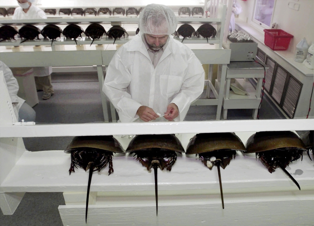A technician prepares a group of horseshoe crabs for bleeding at a lab in Chincoteague Island, Va., in 2000. The crabs are drained of about a third of their blood for biomedical use, then are released alive into the bodies of water where they were found.