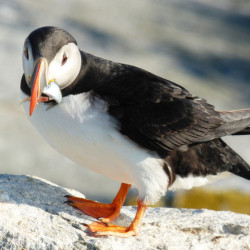 A puffin on Machias Seal Island holds a fish known as a rough scad in its bill. The supply of puffins' top foods – juvenile white hake, sand lance and herring – has fallen this summer.