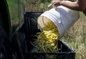 Phoebe Lyttle, community outreach director for Garbage to Garden, adds yellow beans she's picked at Jordan's Farm in Cape Elizabeth to the more than 250 pounds gleaned for food pantries. See more photos of the gleaning on Page S2.